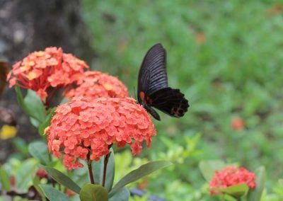 Geranie-mit-Schmetterling